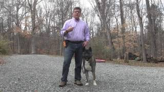 Rose   Akita Dog Training - Winston Salem NC