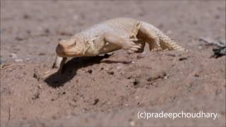 Egyptian Spiny Tail Lizard (Uromastyx) diet in the open desert of Kuwait...
