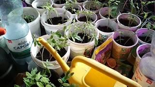 Рассада петунии, томатов, клещевины, перца, цветов на 14.03.2019г.