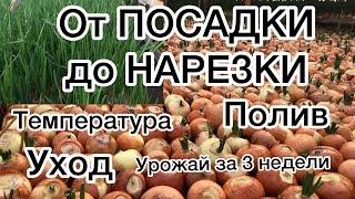 ВЫРАЩИВАНИЕ ЛУКА НА ПЕРО от А до Я. growing onions on a feather from A to Z