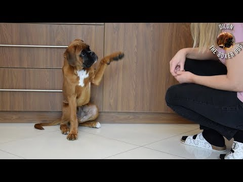 15 weeks old boxer puppy Dilon training session
