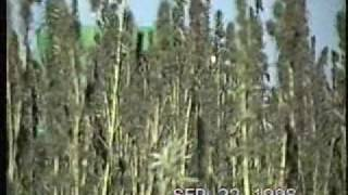 1998 Hemp Seed Crop.wmv