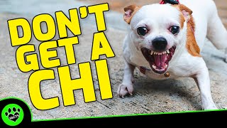 5 Reasons Not To Get A Chihuahua   Dogs 101