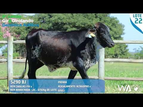 LOTE 22 - 5290 BJ - 6º Leilão Gir & Girolando Genética Aditiva
