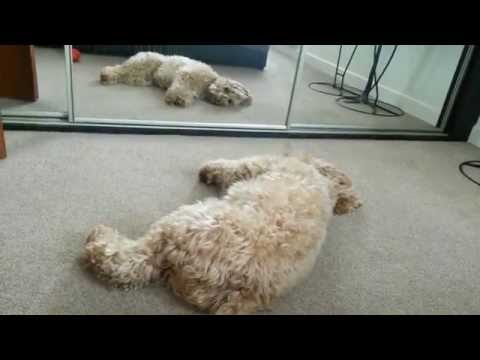 My Morning Routine - Cockapoo Edition