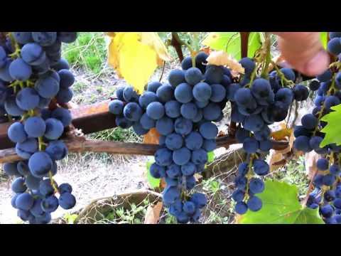 Виноград Ливадийский черный сигнальный урожай