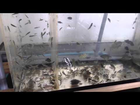 潮溜まりですくってきた小魚を水槽へ入れて飼育します 和歌山 釣太郎