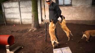 BALZBIG szczenięta owczarka belgijskiego malinois - 4 miesiące