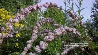 Buddleja alternifolia (Weeping Butterfly Bush)