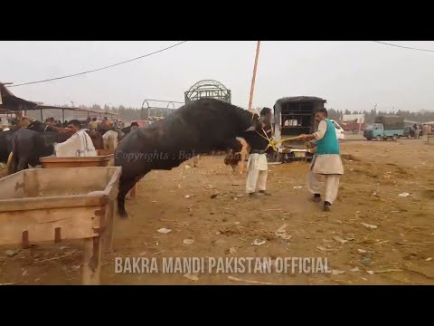 UNSEEN - LAHORE COW AND BAKRA MANDI 2018 - BULL LOADING