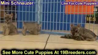 Miniature Schnauzer, Puppies, For, Sale, In, Baton Rouge, Louisiana, La, Minden, West Monroe, Luling