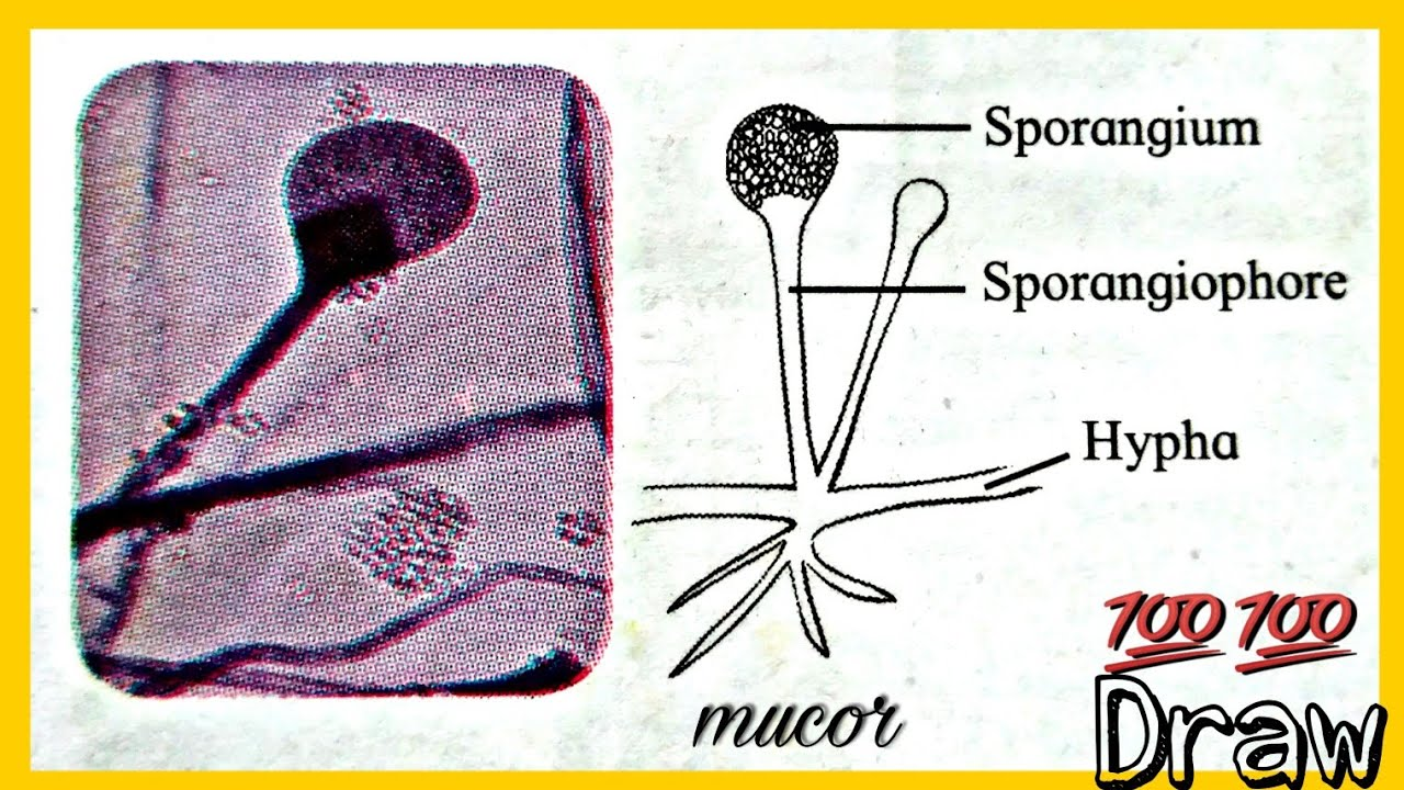 How To Draw Labelled Diagram Of Mucor