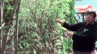 обрезка жасмина видео