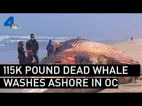 115K Pound Dead Whale Washes Ashore in Orange County Beach   NBCLA
