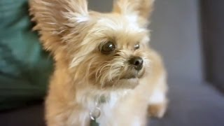 Big-eared Yorkie Terrier Wrestles A Toy | The Daily Puppy