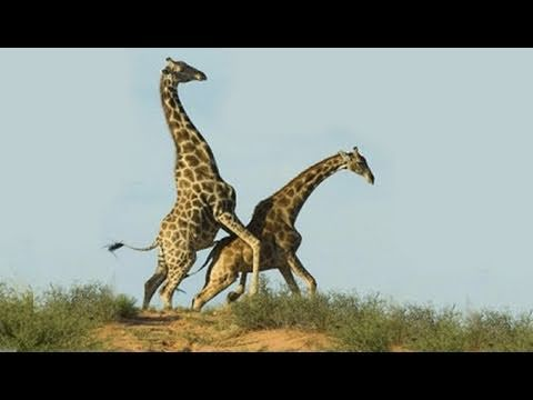 Humans and giraffes having sex