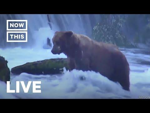 Brown Bears Fish For Salmon After Hibernation | NowThis