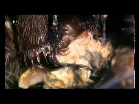 Australiens Königin der Spinnen die Tarantula