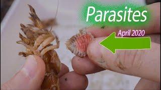 Shrimp Parasite Removal NEW April 2020