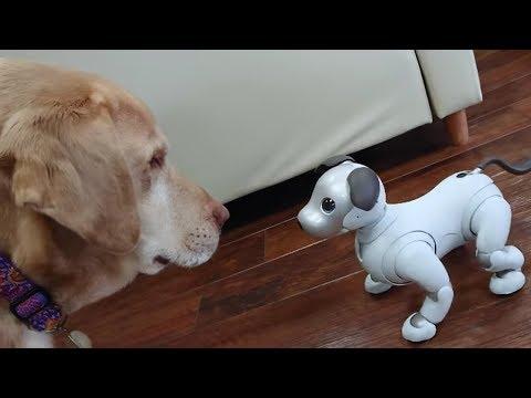 aiboと犬 #5 - aibo and dog. 【アイボ】