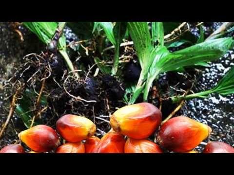 ปาล์มน้ำมัน พันธุ์ทรัพย์ ม.อ.1 (Oil Palm SUP-PSU 1)