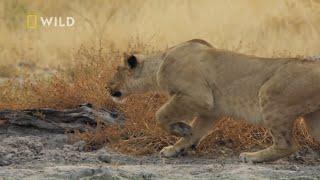 Lwica polowała na guźca by wyżywić swoją rodzinę! [Królestwo drapieżników]
