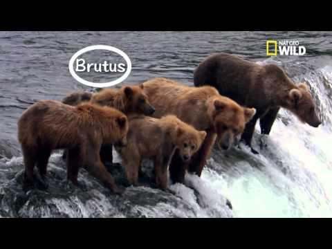 la violente vie des ours