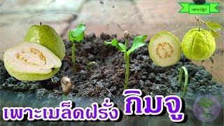 guava | วิธีเพาะเมล็ดฝรั่งกิมจู ปลูกต้นฝรั่ง ชำขายกิ่งพันธุ์ เป็นที่นิยมของตลาด ราคาดี