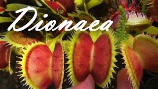 Dionaea в летний и зимний периоды(Венерина мухоловка может очень сильно варьироваться в размере в зависимоcти от сезона. В этом видео я показ..., 2015-02-10T19:50:45.000Z)