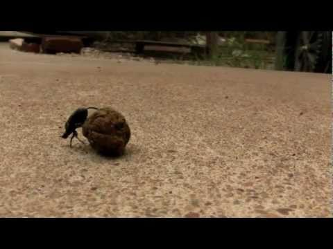 Dung beetle rolling a ball of dung public domain creative commons
