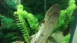 Deep breath!  African Lungfish