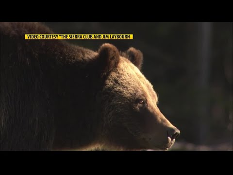 Yellowstone grizzly lawsuit set for federal court hearing in Missoula