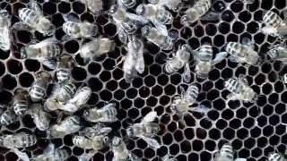 Рой прилетел. Пчеловодство. Пасека для начинающих.