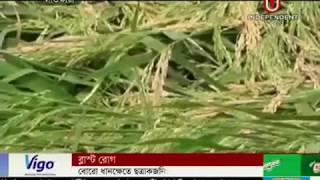Fungal Blast disease  affects  Boro Rice fields (17-04-2018)
