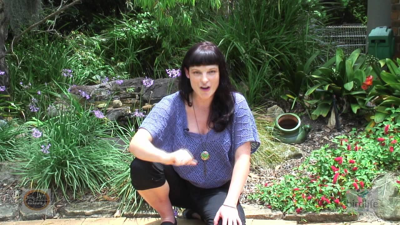 helping aussie birds the birds in backyards program youtube