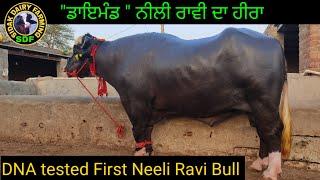 Diamond of Neeli Ravi, ਦੇਖੋ ਨੀਲੀ ਰਾਵੀ ਨਸਲ ਦਾ