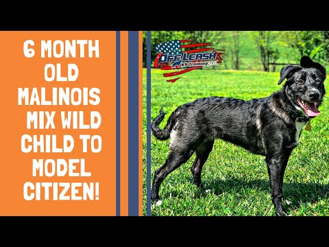 Knoxville Dog Trainers - 6 Month Old Malinois Mix Wild Child to Model Citizen!