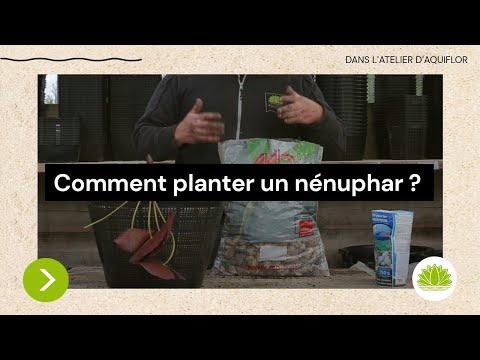 N°6 : Comment planter un nénuphar? / Conseils de Nicolas d'Aquiflor - YouTube