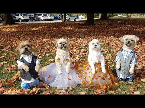 Bốn bé chó đi chơi cảnh mùa thu 2020 Canada phần 1
