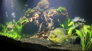 Aquarium Update - Bonsai Tree and a NEW Pet Bluegill!