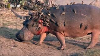 Превосходство бегемота   NAT GEO WILD  The Hippo Supremacy 1 thumbnail