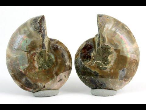 アンモナイト 化石 25g / Ammonoidea