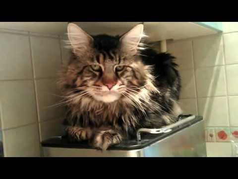 Кот Мейнкун ...