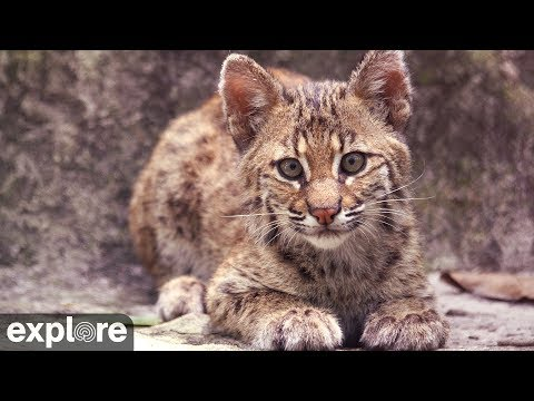Bobcat Rehab Intensive Care - Big Cat Rescue powered by EXPLORE.ORG