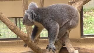 神戸王子動物園のコアラ舎。11:00からコアラの餌やりタイムでコアラが...