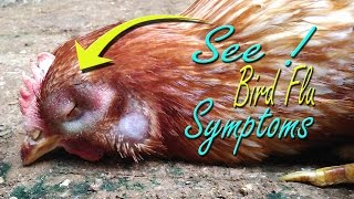 avian influenza symptom in chickens bird flu h5n1 virus vet learning materials poultry farming