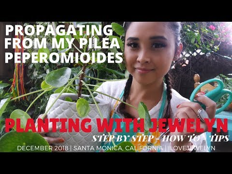 Planting with Jewelyn: Propagating from my Pilea Peperomioides   Dec 2018   ILOVEJEWELYN