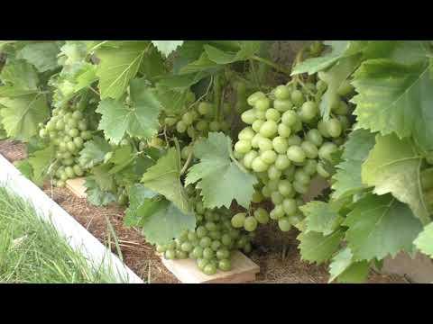 Спасаем виноградник от ос
