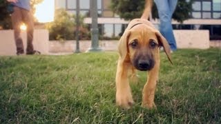 Rhodesian Ridgeback Leads The Way | The Daily Puppy