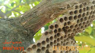 รังแตนยาว Hymenoptera ภาระกิจพิชิตแตนกาบ😂😂🤣🤣